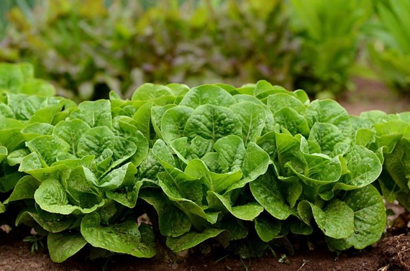 Lettuce from Cole Harbour Heritage Farm