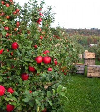 Scotian Gold Apples